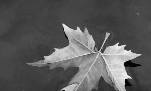 frunza plutind pe apa